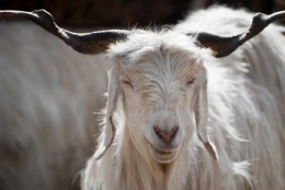 White kashmir (pashmina) goat from Indian highland farm